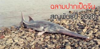ฉลามปากเป็ดจีน
