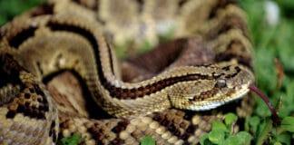 งูกะปะ