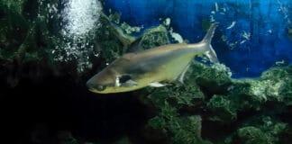 ปลาเทโพ