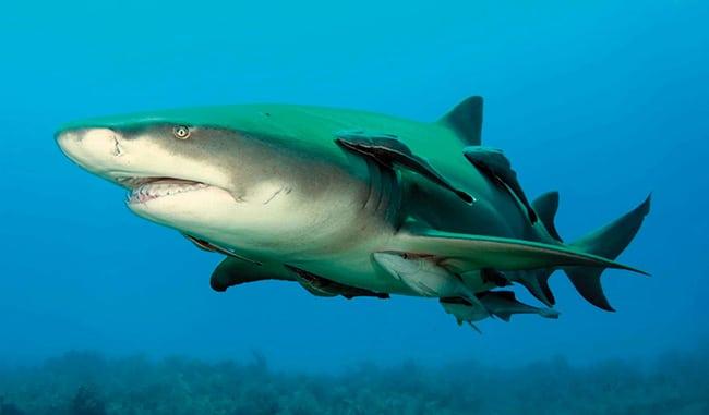 ฉลามมะนาว