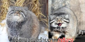 แมวป่าพัลลัส