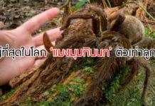 แมงมุมขนาดใหญ่ที่สุดในโลก
