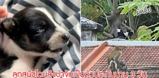 ลิงป่าลักพาตัว