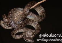 งูเหลือมเล็กที่สุดในโลก